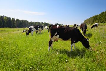 Wall Mural - Cows