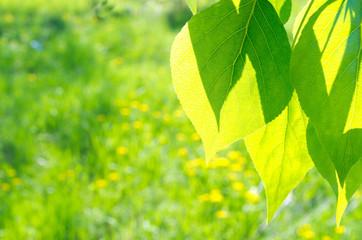 Green poplar leaves on floral background