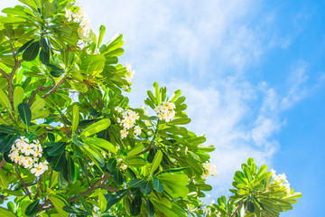 temple tree and white flower on blue sky