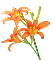 Tiger(striped) lilies on white background. Isolated