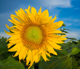 Sunflower on a blue cloudy sky background