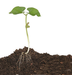 Bean seedling