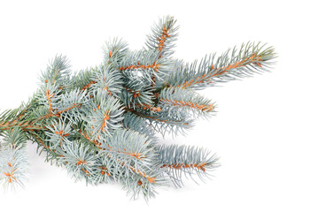 fresh blue fir tree branch isolated on white background