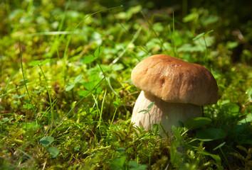 Boletus edulis   in natural environment.