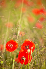 Fototapete - close up poppies in a green field