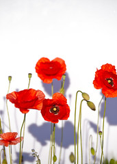 Fototapete - Field of beautiful red poppies isolated on white with shadow