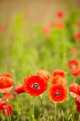 Wall Mural - Field of  Poppy Flowers Papaver rhoeas in Spring