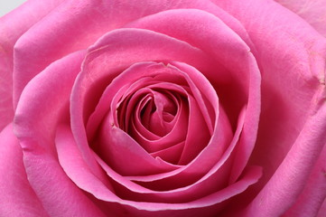 Fototapete - Close up of pink rose heart