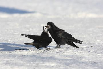 Fotoväggar - Rook, Corvus frugilegus