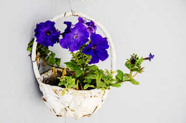 Blue flower hanged in basket on the white wall