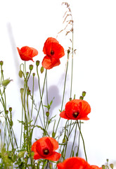 Fototapete - Isolated red poppies