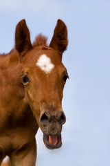 young horse with open mouth