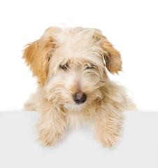 Dog above white banner looking at camera. isolated on white