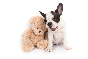 French bulldog puppy with teddy bear toy over white