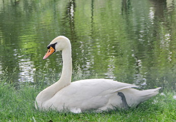 Swan sitting on the gpass in the park