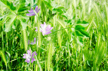 Bright spring fresh green field with violet flowers