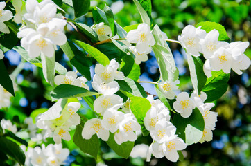 Brightly lit spring branch with white flowers