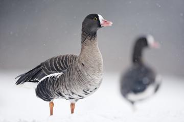 Lesser white-fronted goose, Anser erythropus,