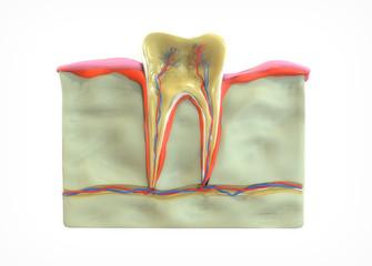 Sección diente