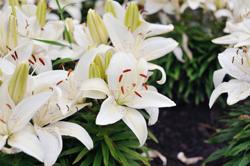 White lilies in bloom