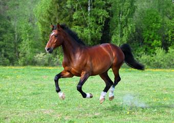 Bay stallion horse running