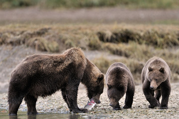 Mother Grizzly Bear with two cubs feeding on fish.