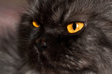 Black cat with beautiful yellow eyes.