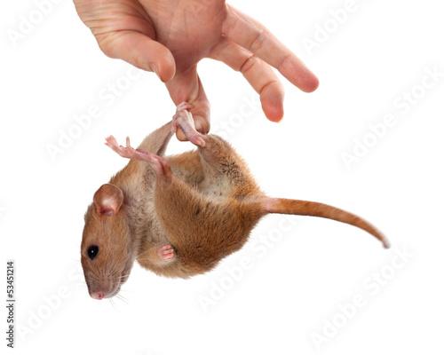 Мышь или крыса своими руками
