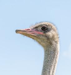 Ostrich male head