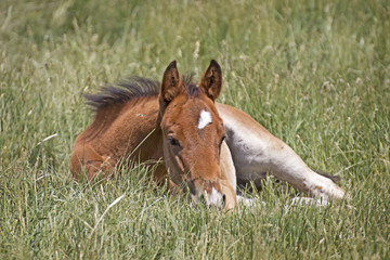 Little Brown Baby Horse Sleeping In Grass