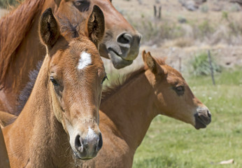 Head shots of two brown baby horses with mother