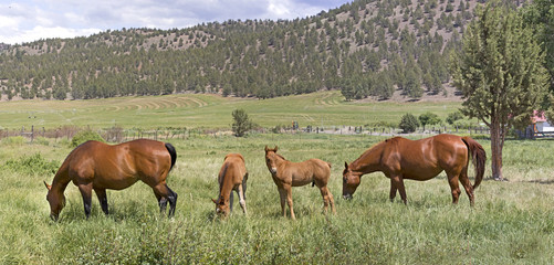 Many Brown Horses in Field Panorama