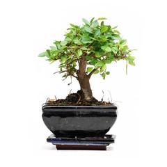 Bonsai tree on white background . Ulmus ( Elm )