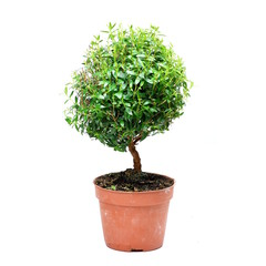 common myrtle. Bonsai tree on white background