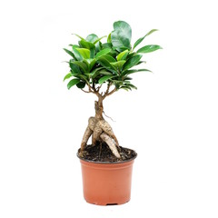 ficus mikrokarpa. Bonsai tree on white background