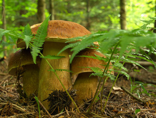 Mushroom in the forest boletus