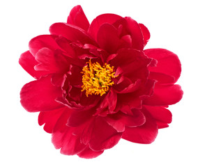 single flower head of red peony isolated on white
