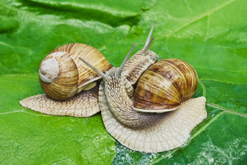 Mating game snails on the background of green leaves.