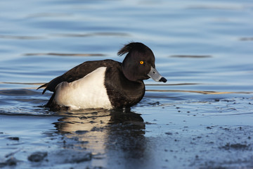Fotoväggar - Tufted duck, Aythya fuligula, single male