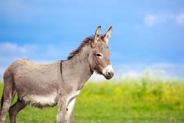 Tuinposter Ezel Grey donkey in field