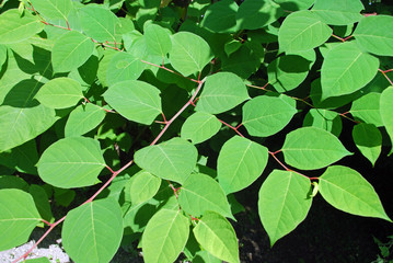 Fallopia japonica, characteristic leaves