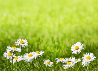 Daisies on a Sunny Lawn with Copy Space