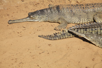 Gharial on Sand Background