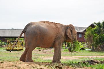 BanTaKlang Elephant Village  Study Center  Surin Thailand