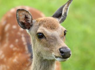 Close up of a female Fallow Deer