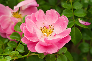 Flowers of dog-rose