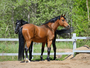 Fototapete - Two purebred horses on manege