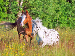 welsh pony and mini Appaloosa in the field