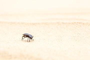 insect Tenebrio molitor on the sand