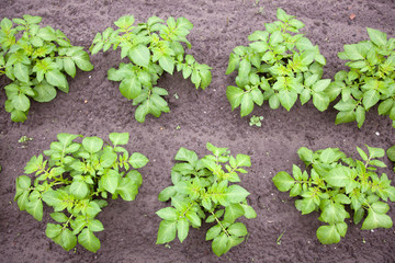 potato plants in garden
